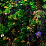 Water Lilies with Koy Carp